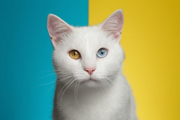 cat odd eyes