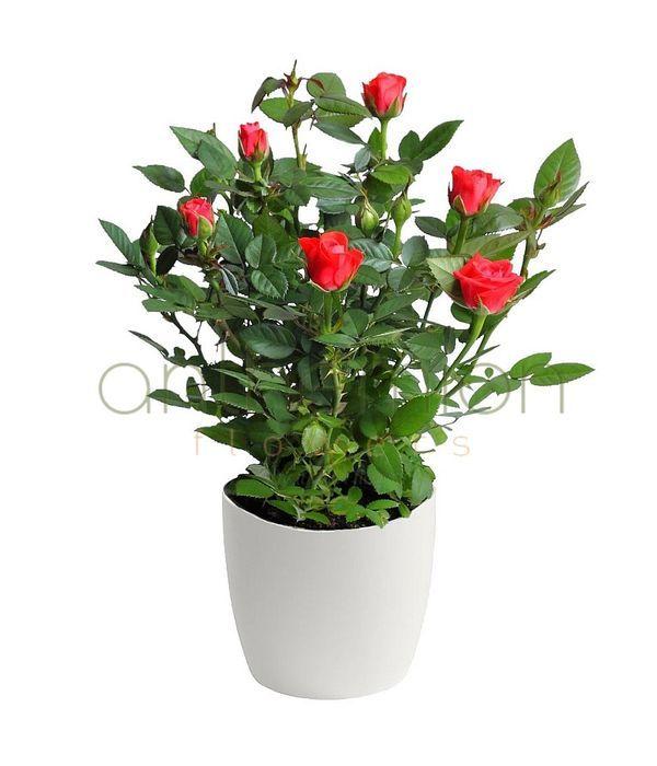 mini-red-rose1.jpg