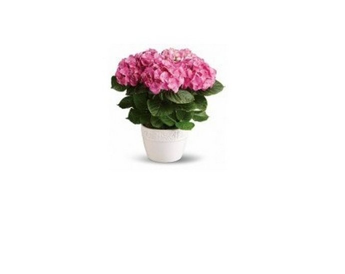 Φυτό - Ροζ Ορτανσία